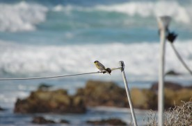 Male Goldfinch?