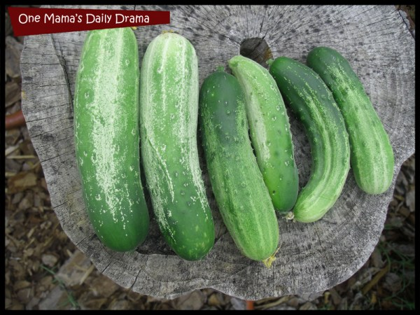 Cucumbers grow fast and produce a lot of food.