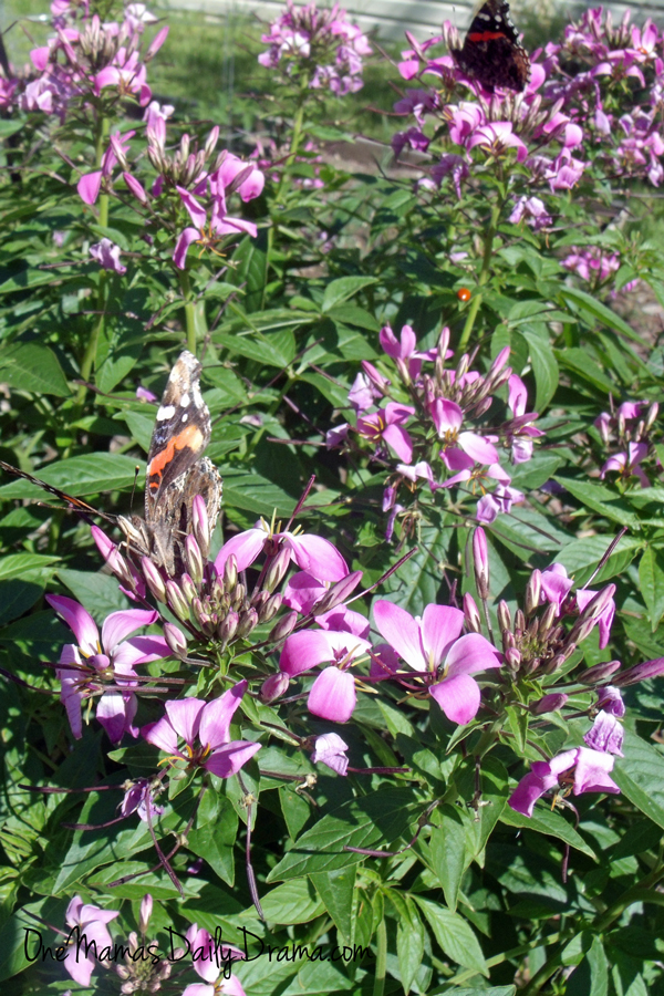 5 flowers that attract butterflies and hummingbirds: butterfly bush