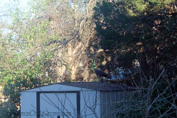 bird-watching-peahen