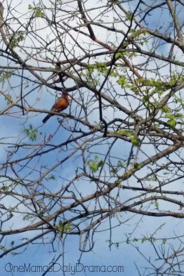 bird-watching-robin