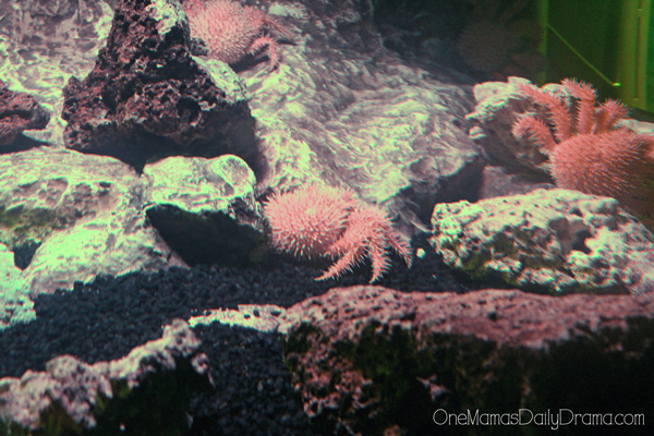 porcupine crab at SEA LIFE Grapevine