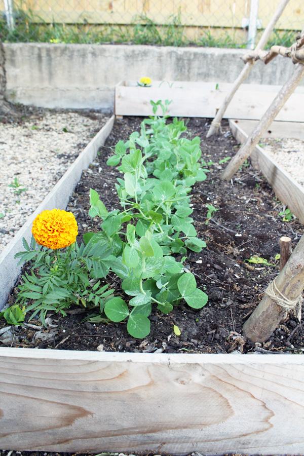 Marigolds planted with vegetables deter pests.