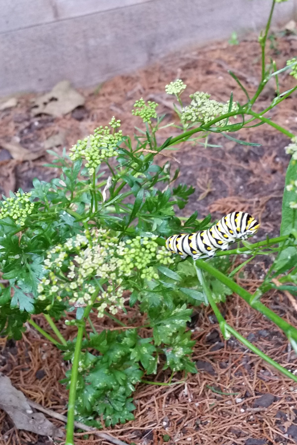 Herbs to grow: parsley