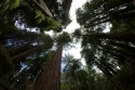 Muir-Woods-Giant-Redwoods