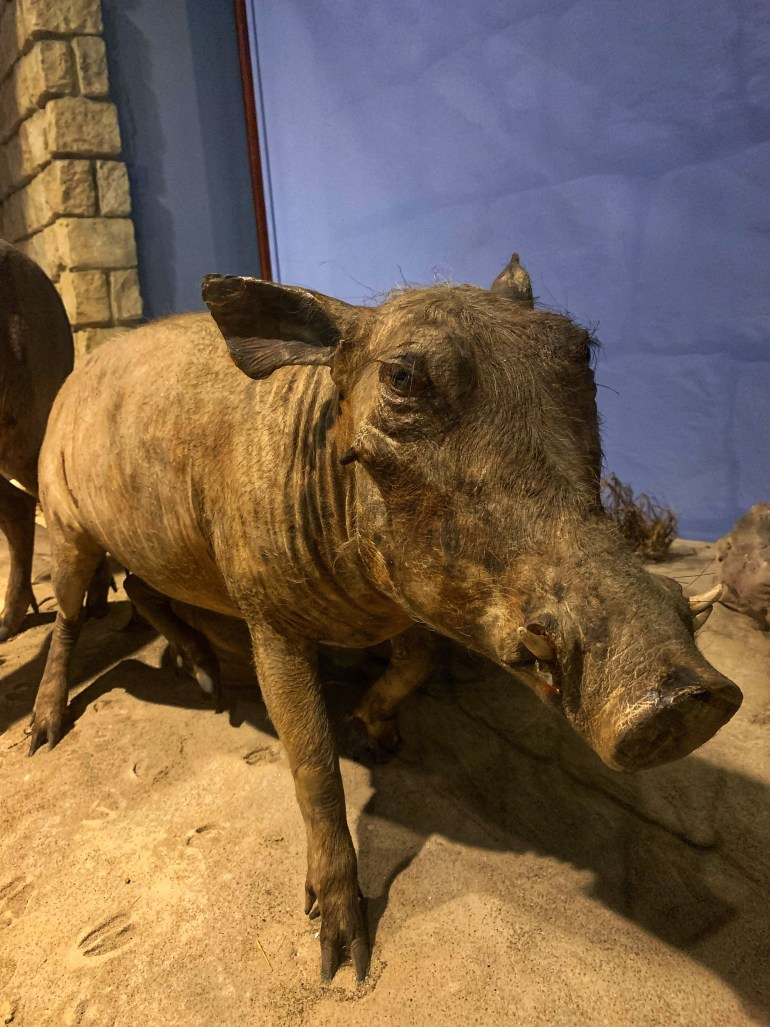 Warthog: At the Field Museum in Chicago