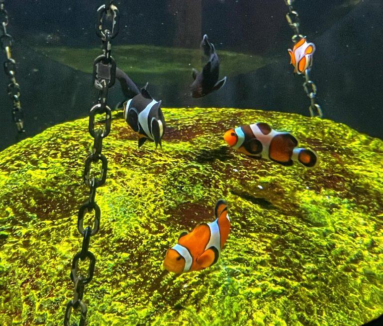 Clownfish at the Oregon Coast Aquarium in Newport, Oregon