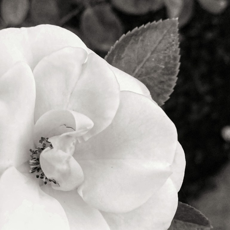 Black and White: Roses at the Julia Davis Park in Boise, Idaho