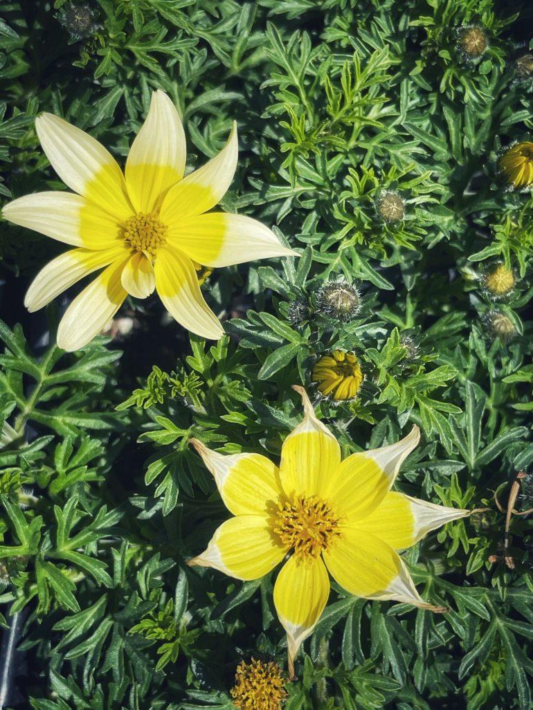 Flora of Mendocino, California