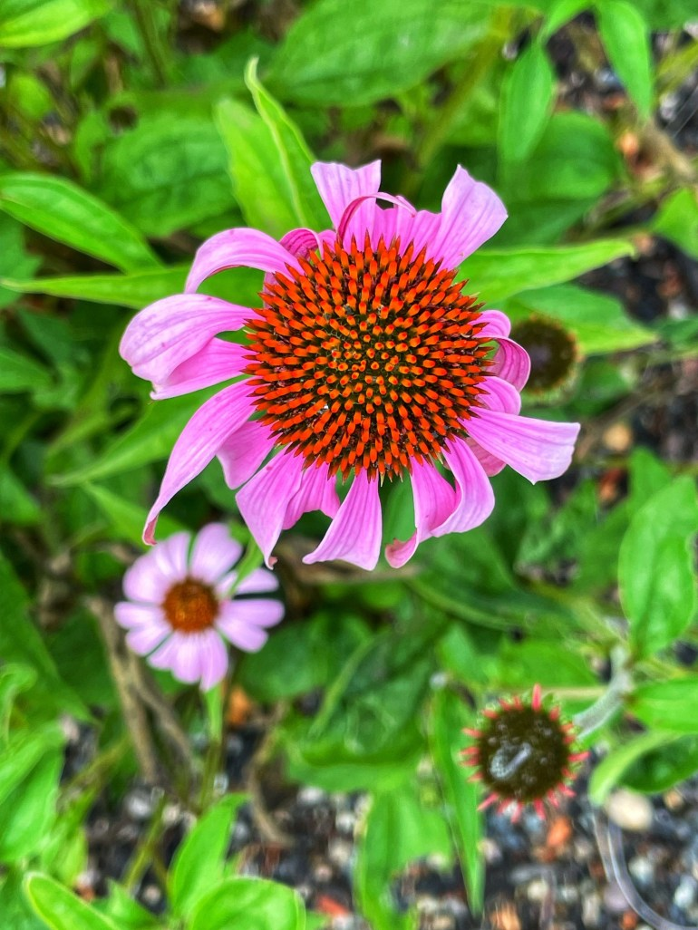 July 12, 2021 Flower of the Day in Camas, Washington