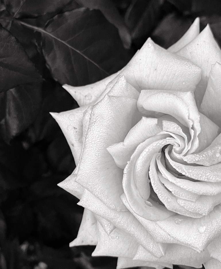 Black and White at the International Rose Test Garden in Portland, Oregon
