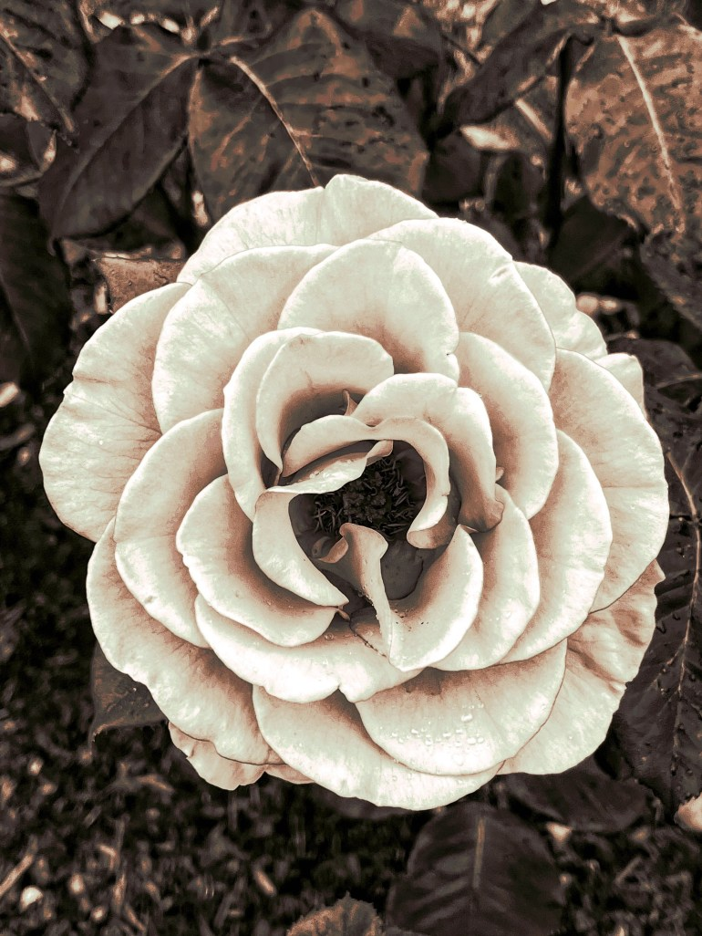 Black and White: Ladd Circle Park and Rose Gardens in Portland, Oregon