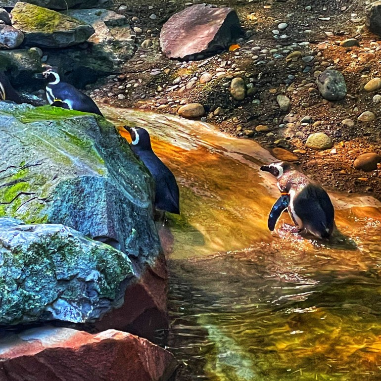 A Trio of Penguins at the Point Defiance Zoo and Aquarium in Tacoma, Washington