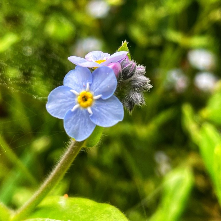 Tiny Blue Flower at Russian Gulch State Park, Northern California