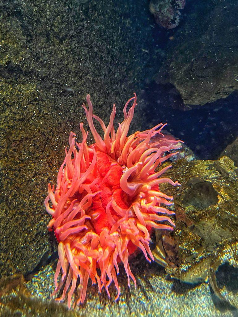 Red(ish) Sea Life at the Oregon Coast Aquarium in Newport, Oregon