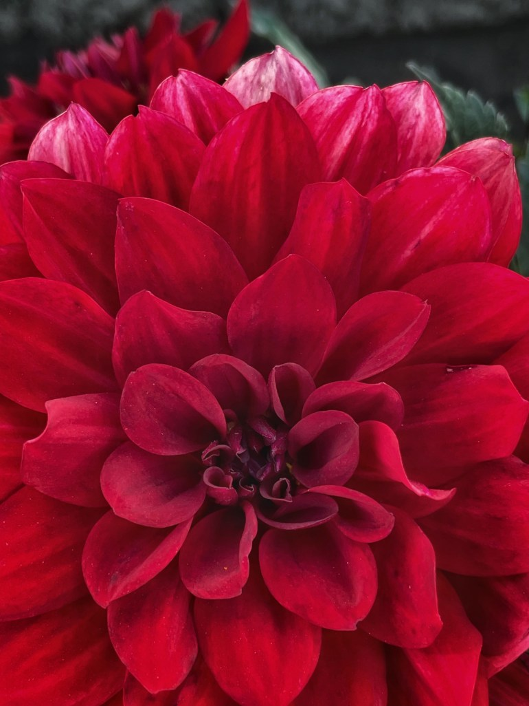 Life in Color: Red Dahlia