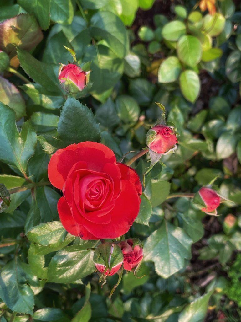 Late July at the International Rose Test Garden in Portland, Oregon