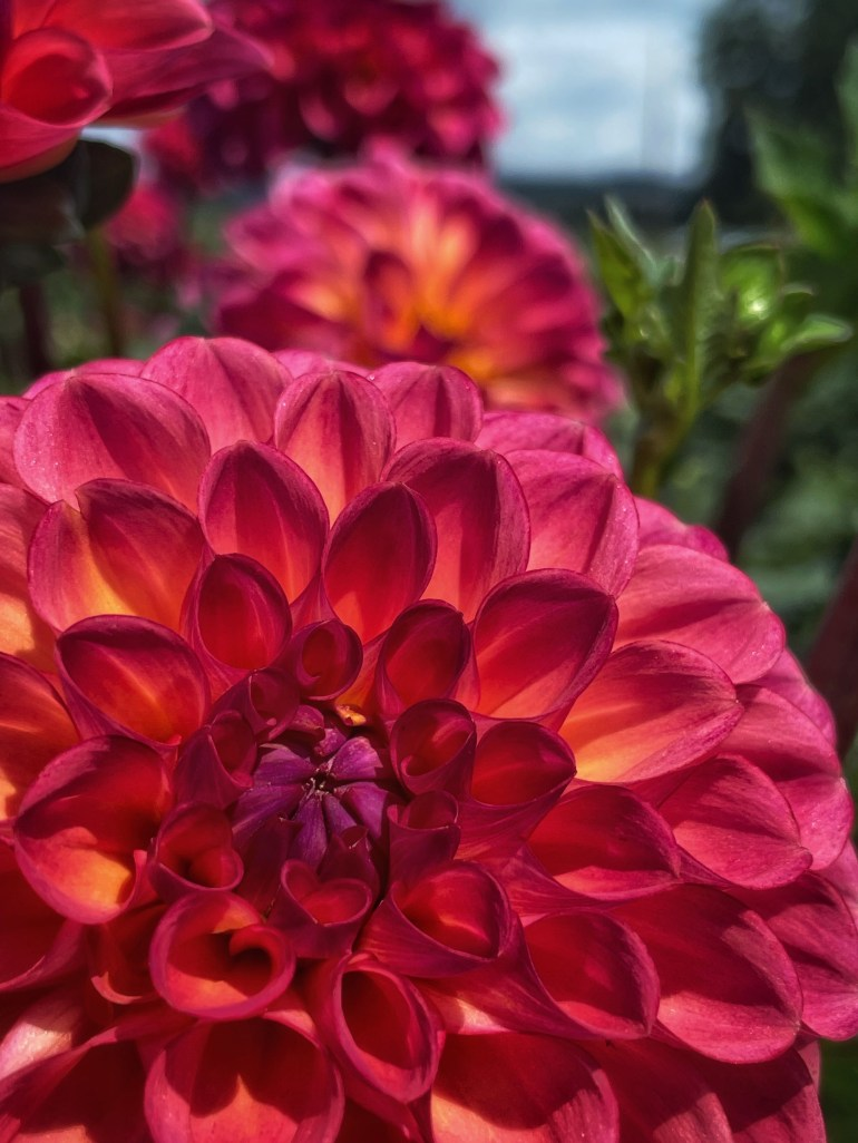 Flower of the Day for August 10, 2021 at Swan Island Dahlias in Canby, Oregon