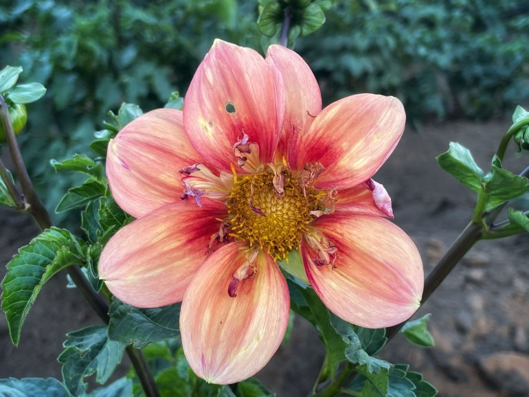 Photo taken at Swan Island Dahlias in Canby, Oregon