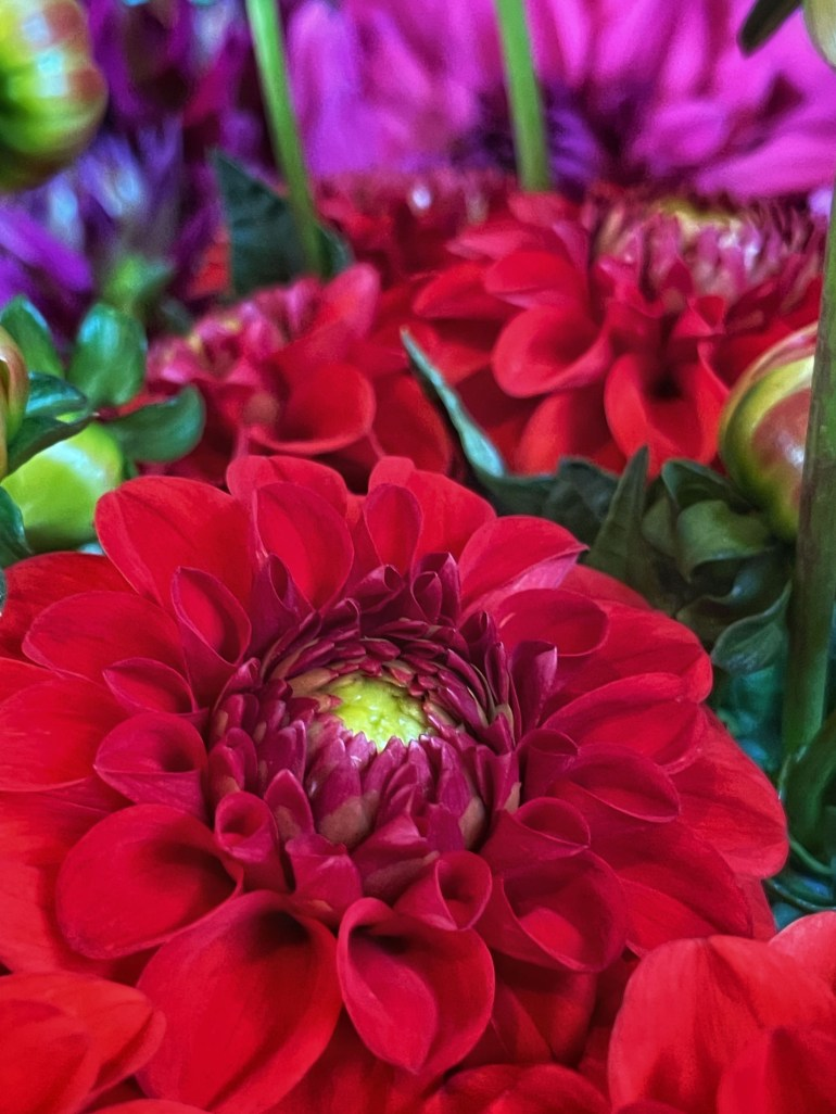 Red Dahlia in Canby, Oregon