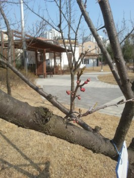 The first few blossoms of a Japanese apricot tree