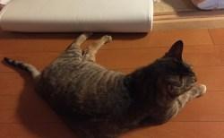 遠赤外線サウナに入りたがる猫。こたつみたいなものかな?