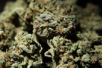 Cannabis-666-2016