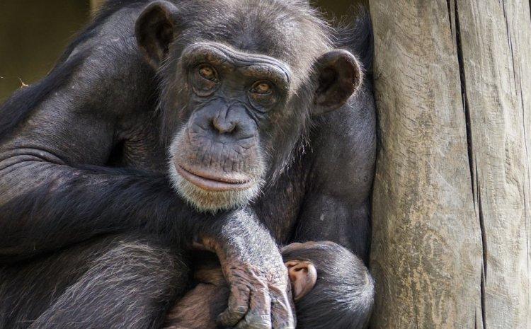 Χιμπατζήδες επιτίθενται και σκοτώνουν γορίλες για πρώτη φορά
