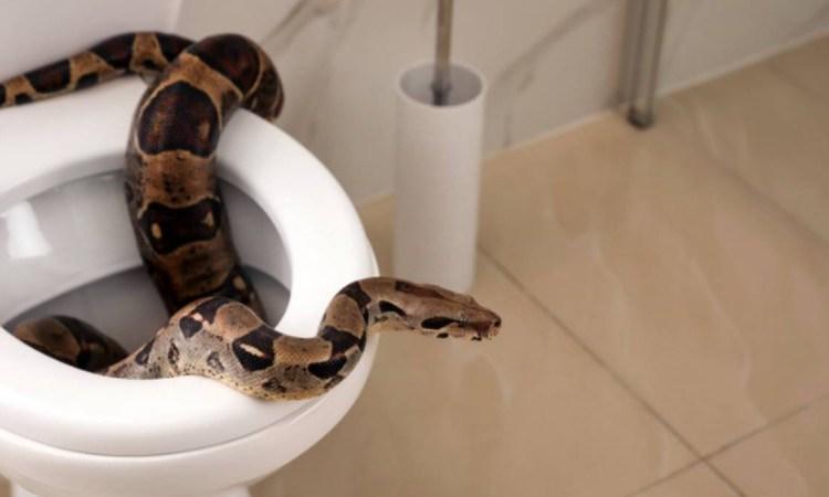 Φρίκη: Τον τσίμπησε πύθωνας στα γεννητικά όργανα μέσα από την λεκάνη της τουαλέτας!