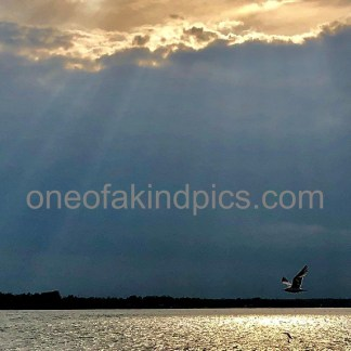 one of a kind photos N4005, Seagull flying at Sunset, Niagara River, Niagara Falls, USA, Dimension2578x1995