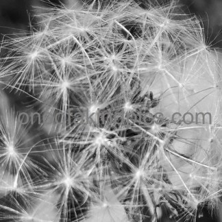 one of a kind photos N4006, Dandelion Planet Drifters, , 1321x991pixels