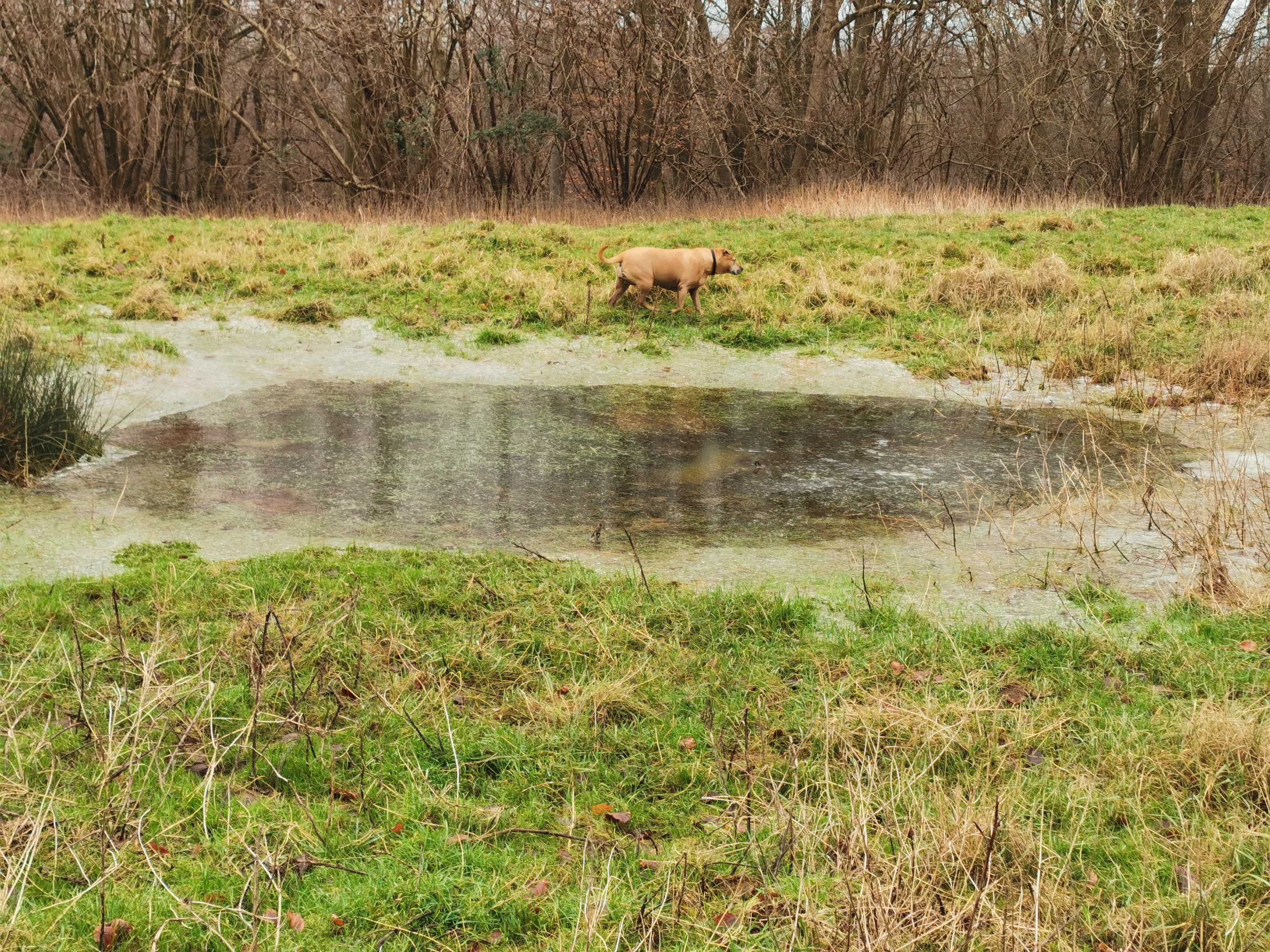 Dog walking around a pond in Lacock