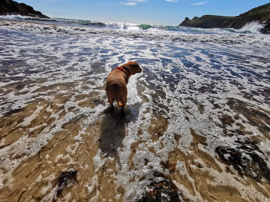 Dog on Nanjizal Beach