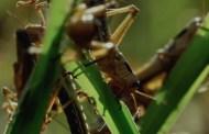 Locusts in the Quran