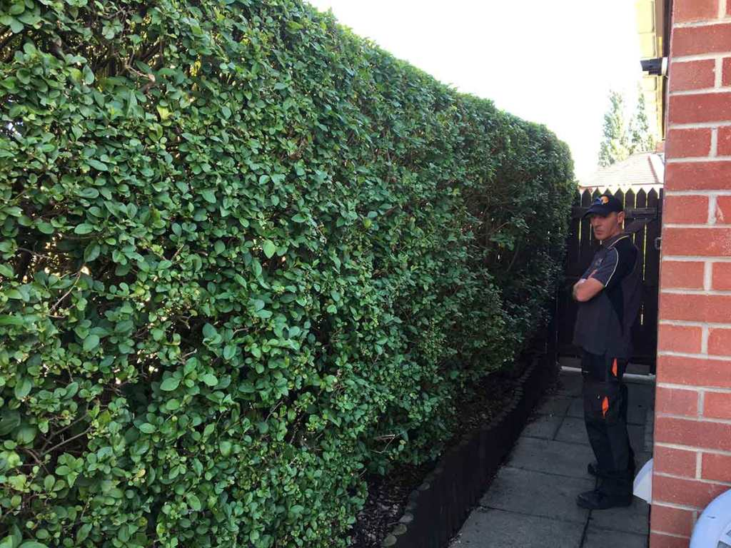 hedge removal