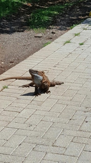 Iguanas were everywhere!