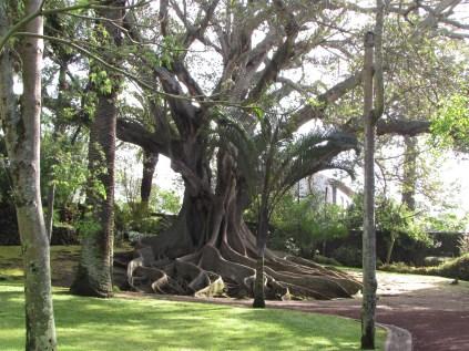 Indian Rubber Tree in Jardim Antonio Borges
