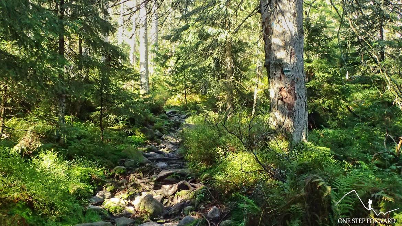 Gęsty las w Dolinie Pańszczycy