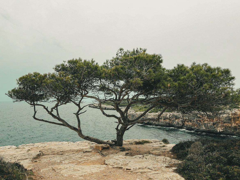Pinia rosnąca przy Cala Pi na Majorce