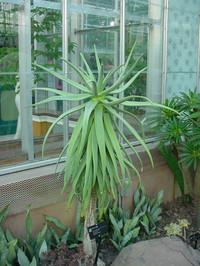 Aloe_tree