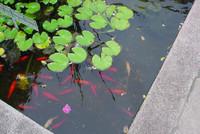 Coi_pond