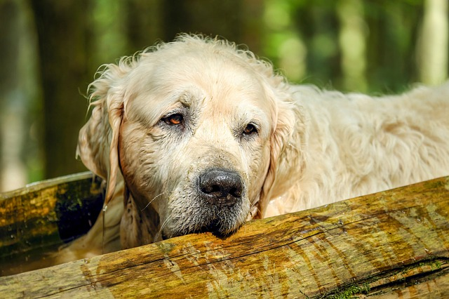 Treat Joint Issues in Older Dogs