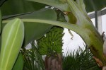 A stalk of bananas ripening in the new Miller Nature Preserve in Avon