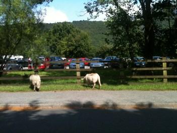 sheep shagger 1