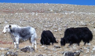 Yaks safely grazing