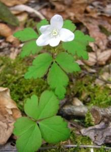 Wood anemone, a low dose medicinal