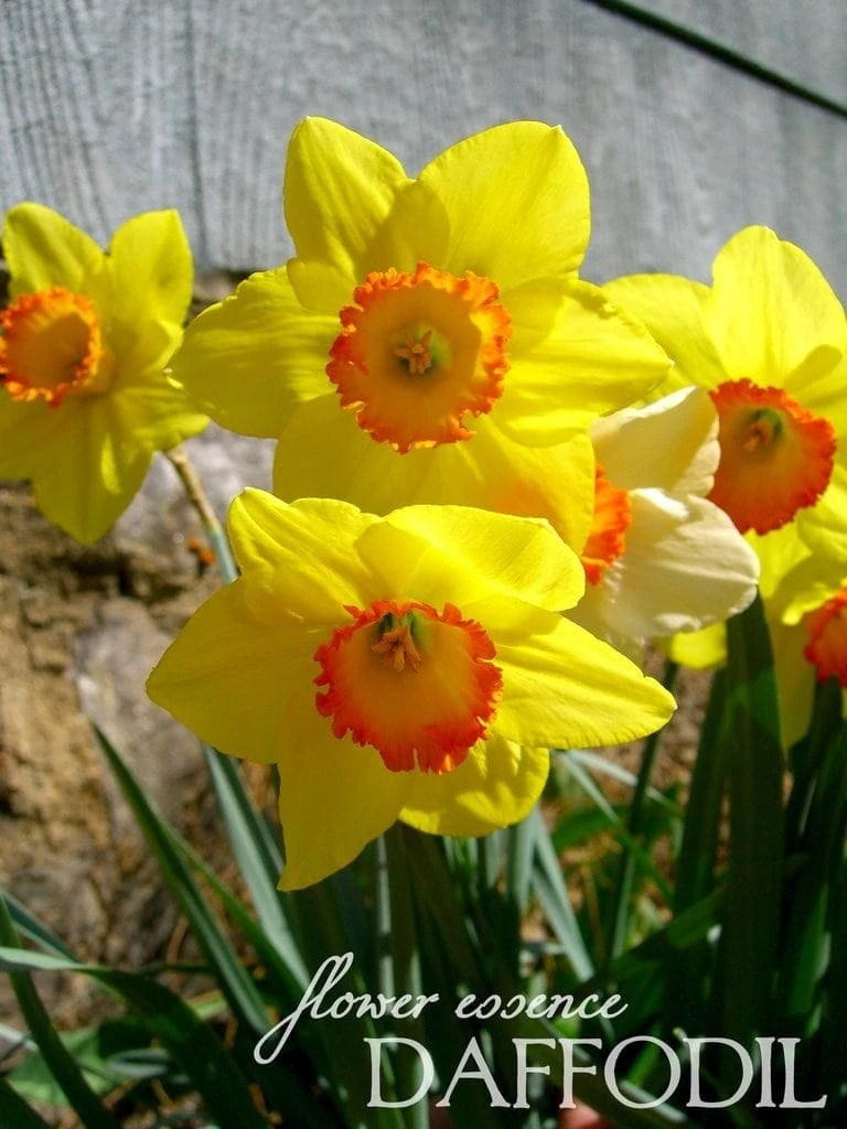 Daffodil One Willow Apothecaries