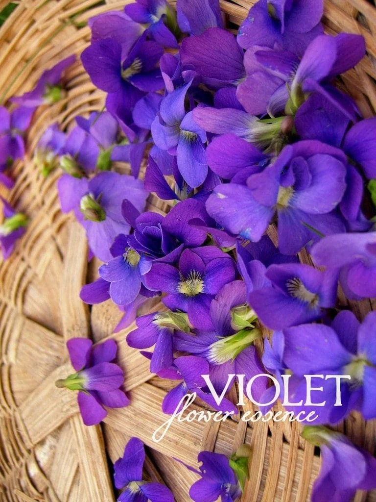 Violet One Willow Apothecaries