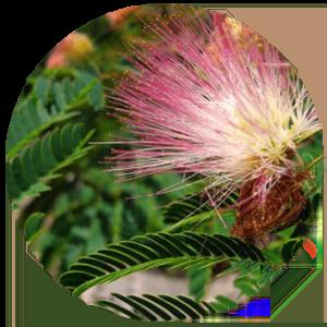 Mimosa_photo_circle