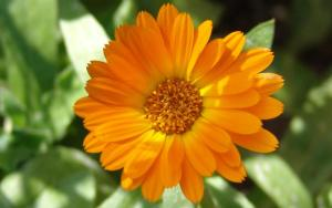 6 Ways to Use Calendula Tea